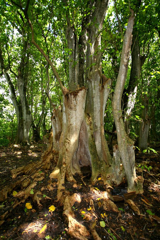 Les troncs des « gatae » peuvent atteindre des tailles remarquables, plusieurs mètres de circonférence.