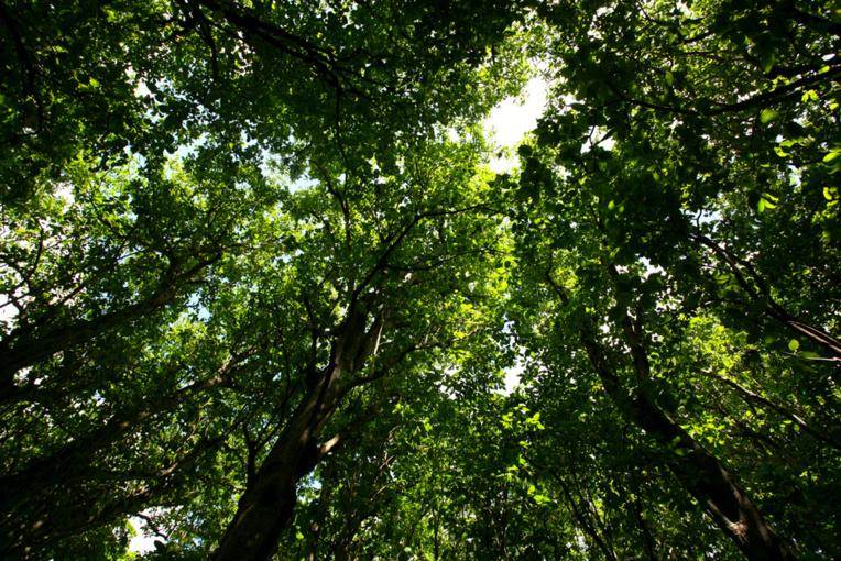 En saison des pluies, la canopée des forêts à Pisonia grandis laisse passer très peu de lumière, gardant au sol une fraîcheur idéale.