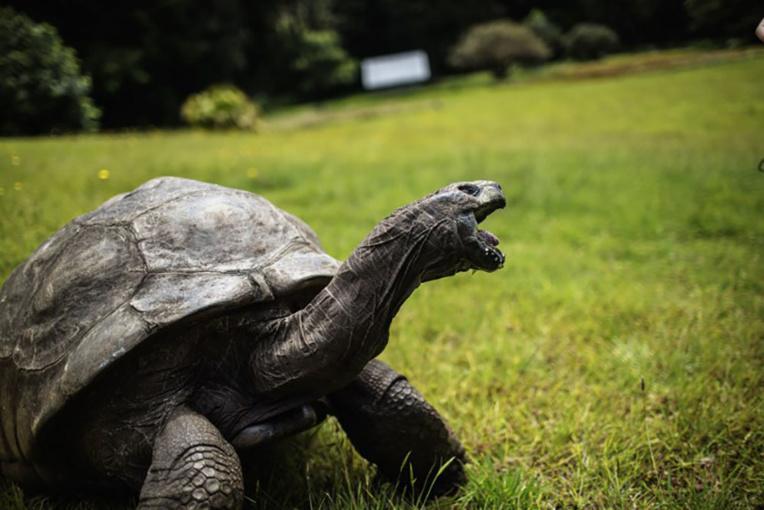Jonathan la tortue, 185 ans au moins et apôtre de la lenteur