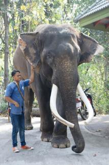 Thaïlande: un éléphant ex-acteur tue son propriétaire
