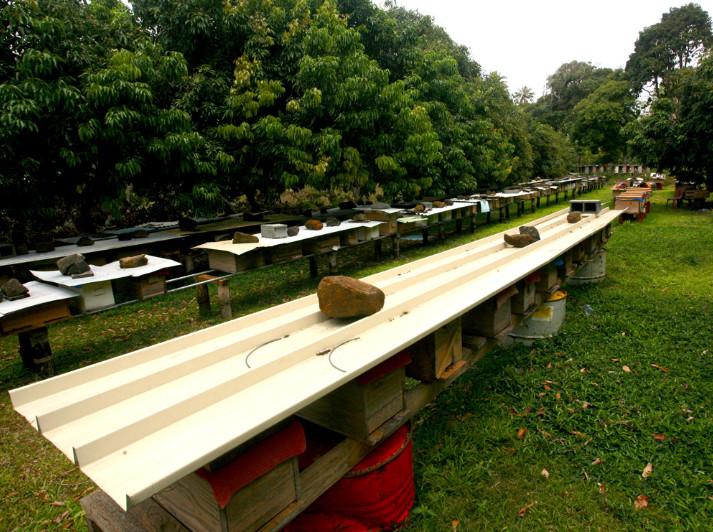 Les abeilles sont indispensables à l'agriculture, puisque ce sont elles qui pollinisent les plantes. Plusieurs centaines de ruches produisent un excellent miel sur cette île riche en flore.