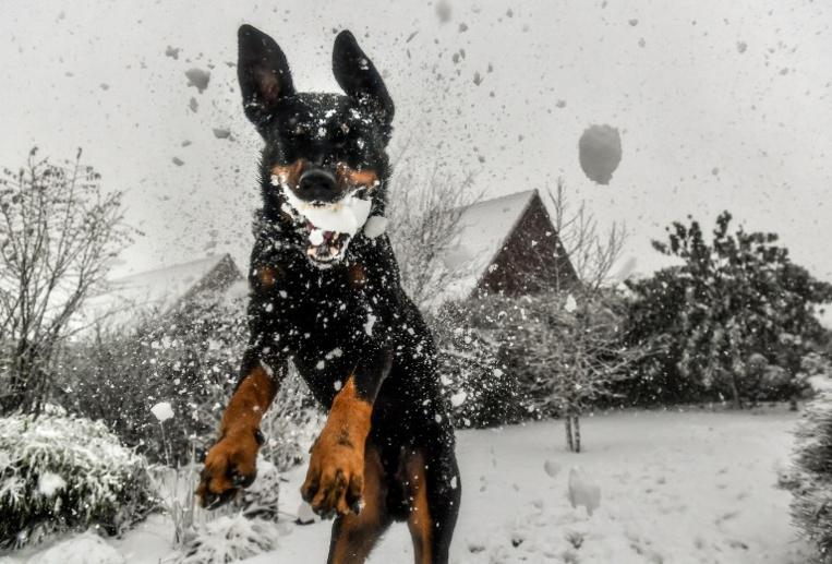 Noël, période à risque pour les chiens, empoisonnés par le chocolat