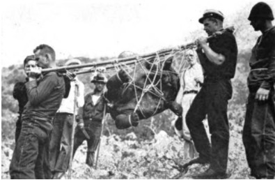 Marins de l'expédition Pinchot transportant une tortue vers le schooner « Mary Pinchot » . Galapagos en 1928