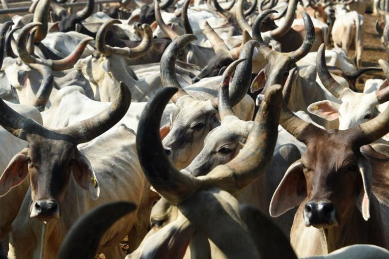 """""""Thérapie de la vache"""" dans des pénitenciers indiens"""