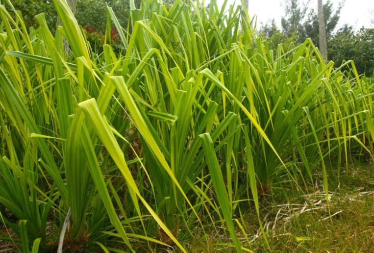 Le pandanus (Pandanus tectorius) est indubitablement la plante reine de l'île de Tubuai. La variété réservée au tressage ne porte pas d'épines.