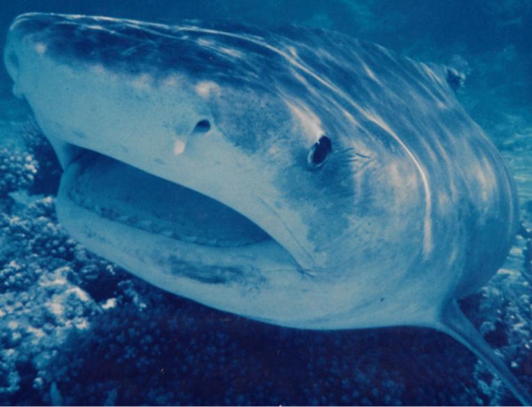 Principale victime de ce massacre organisé, le requin tigre (Galeocerdo cuvier), aujourd'hui terriblement pourchassé et menacé.