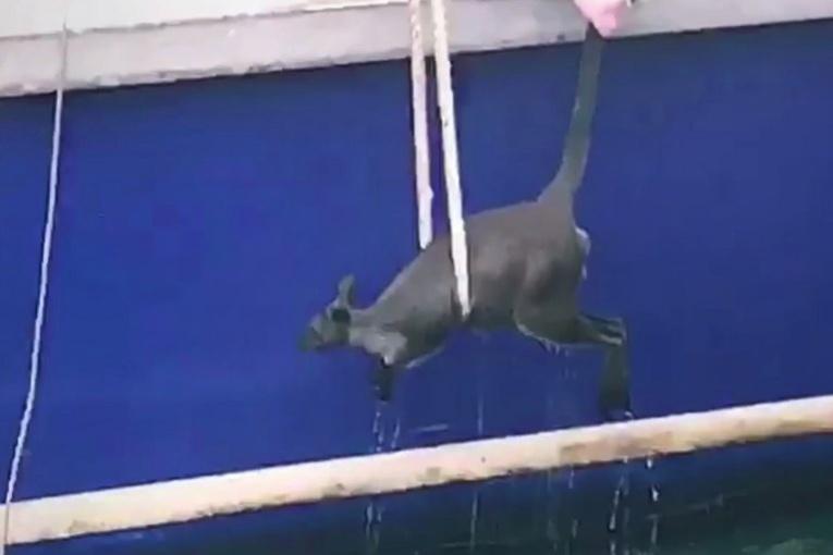 Un wallaby sauvé par un ferry dans le port de Sydney