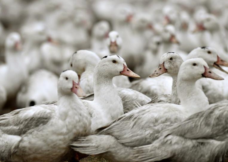 Loire-Atlantique: un foyer de grippe aviaire identifié, 16.600 canards abattus