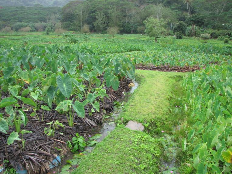 A Rurutu, l'ensemble des tarodières a ainsi pu obtenir l'étiquette bio grâce à la culture qui était restée traditionnelle.