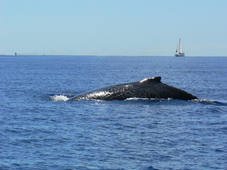 Le whale watching s'est considérablement développé depuis 20 ans.