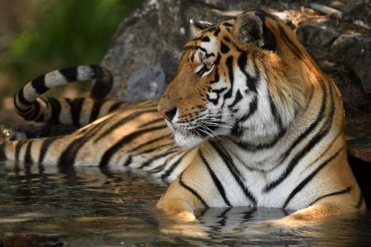 Mexique: un chef de gang arrêté avec ... son tigre
