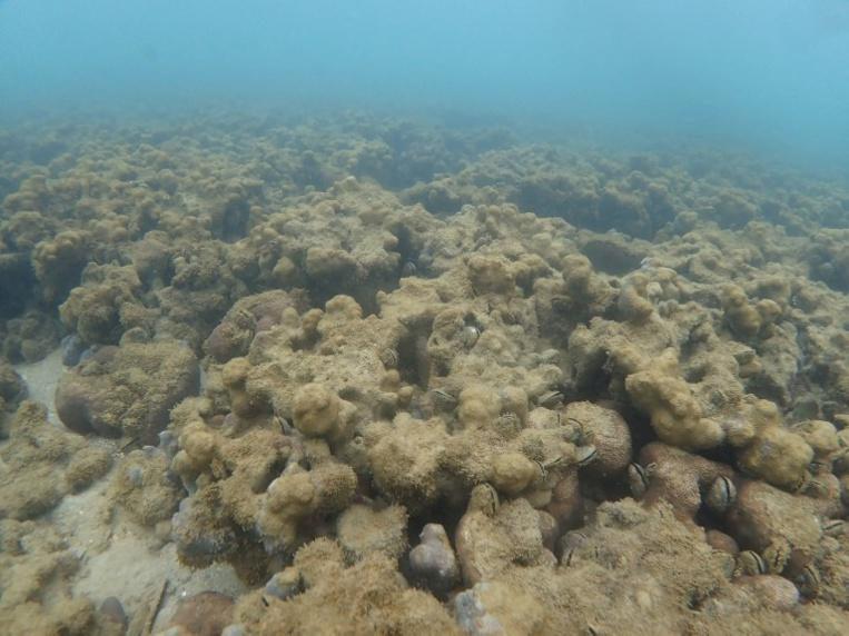 Coraux: 1% seulement du plus grand récif japonais reste sain