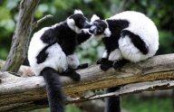 Autriche: l'escapade de deux lémuriens se termine au bar d'un hôtel