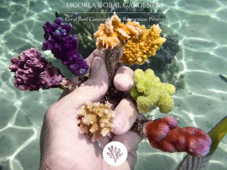 De nombreuses variétés de coraux vivent en Polynésie
