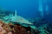 Un requin-guitare alimente la polémique à la Réunion