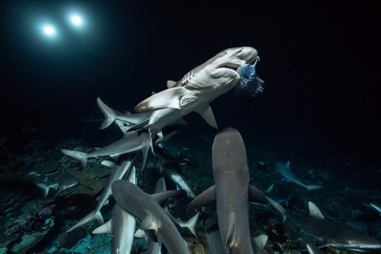Une seule proie attire des dizaines de requins