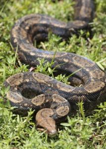 Un python de 4 m retrouvé dans la forêt de Nelle-Calédonie
