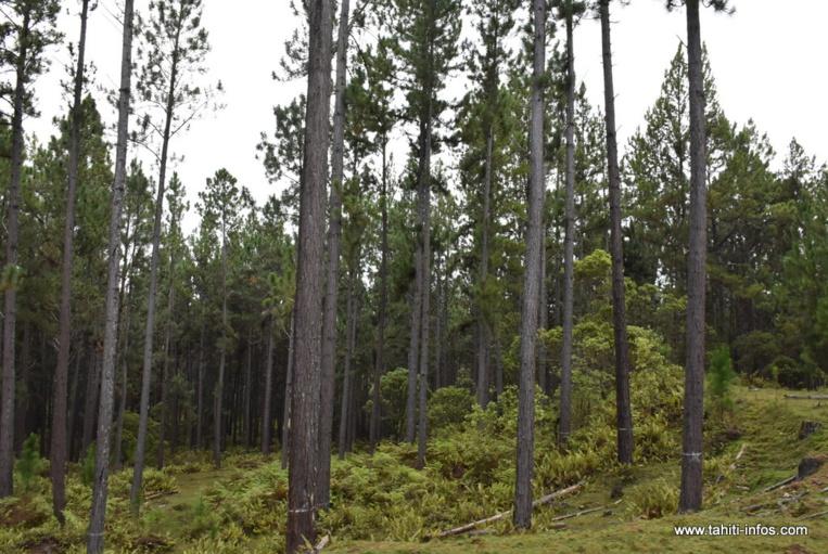 Bois : un investissement de 1.7 milliard à Nuku Hiva