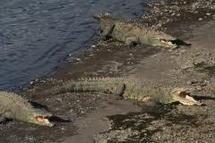 Mexique: près de 300 crocodiles s'échappent dans une zone inondée