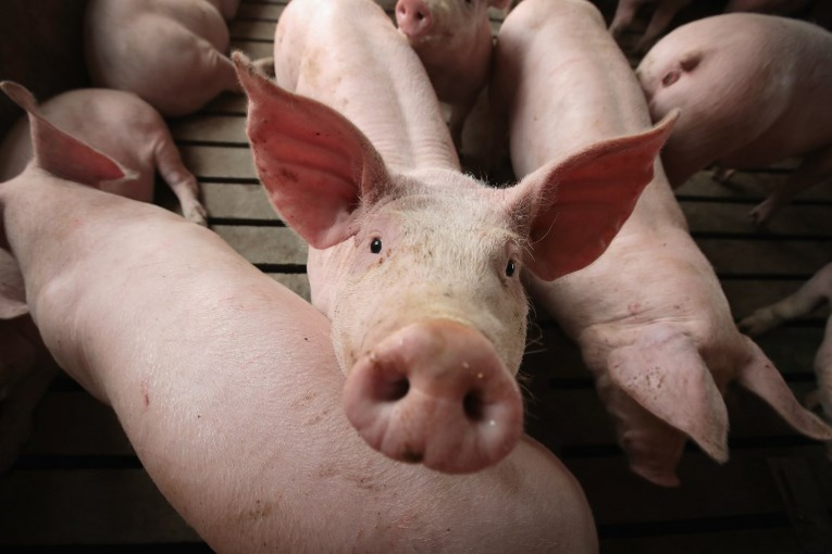 L'élevage porcin comptera à terme 1844 animaux, ce qui le placera parmi les gros élevages porcins de la Polynésie française. Photo : AFP