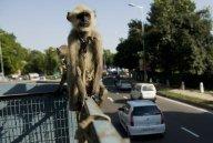 """Jeux du Commonwealth: des """"super-singes"""" recrutés comme vigiles"""