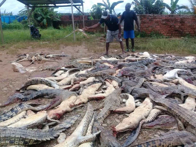 Indonésie: une foule en colère massacre près de 300 crocodiles