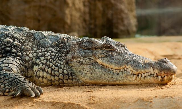 Chasse au crocodile sur les plages de l'île touristique de Phuket