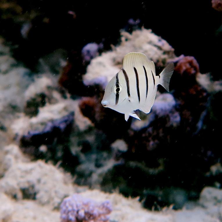 Jeune poisson chirurgien bagnard ©C. Berthe