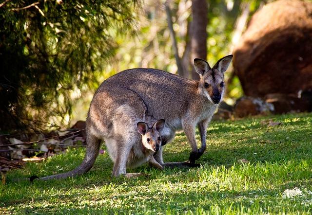 Réveillés en sursaut par l'irruption nocturne d'un kangourou