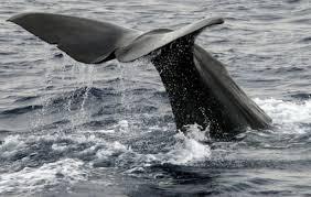 Chasse à la baleine: L'Australie opposée à tout assouplissement du moratoire