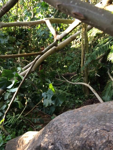 Miri : un bulldozer défigure le chemin qui mène au mont Marau