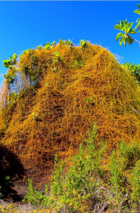 Sur les motu voisins de la pension, les lianes de taino'a (Cassitha filiformis) n'hésitent pas à prendre leurs aises, souvent au détriment de la végétation locale, ici un malheureux kahai'a (Guettarda speciosa).