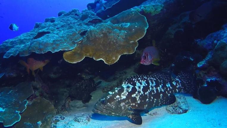 Une loche marbrée surveillant les alentours sous un corail protecteur.