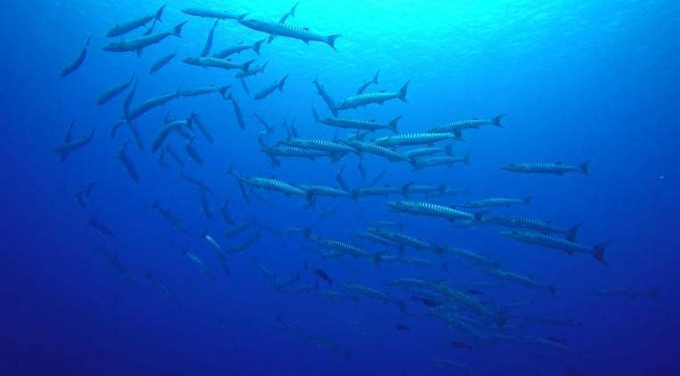 Quand un banc de barracudas (Sphyraena qenie) se laisse porter par le courant de la passe, attendant la nuit pour se mettre en chasse.