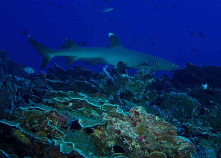 Toujours en quête d'un repas facile, un requin à aileron blanc du récif (Triaenodon obesus) vient « renifler » la palanquée.