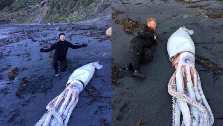 Un calamar géant s'échoue sur une plage en Nouvelle Zélande