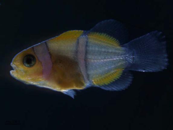 Juvénile de poisson clown (A. ocellaris) de 15 jours. Les deux bandes antérieures (tête et tronc) sont formées et la troisième, sur la queue, est en cours de formation. Photo : © Natacha Roux