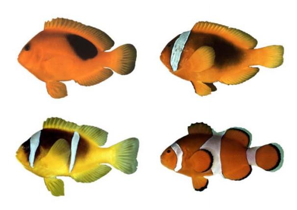 Les poissons-clowns se caractérisent par une coloration jaune à noire en passant par l'orange et le rouge, mais surtout par la présence de bandes blanches. Les différentes espèces de poissons-clowns ont de zéro à trois bandes : sur la tête, la tête et le tronc ou la tête, le tronc et la queue. De haut en bas et de gauche à droite : A. ephippium, A. frenatus, A. bicinctus et A. ocellaris. Photo : John E. Randall