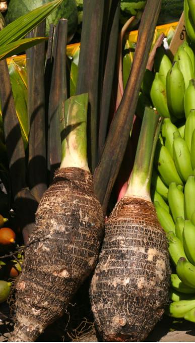 Colocasia esculenta. Le taro (taro) est une plante de premier plan dans l'archipel des Australes où il fournit la base de la nourriture.