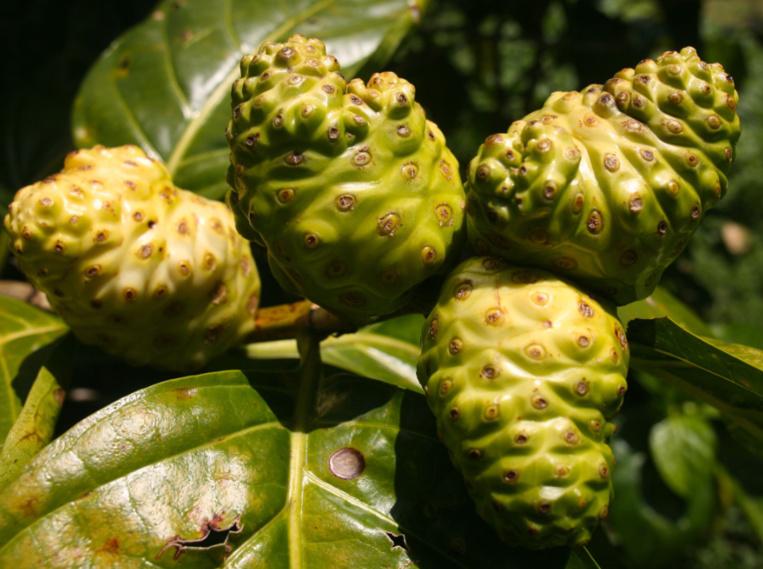 Morinda citrifolia. La pomme-chien (nono, noni) est une plante tinctoriale, mais aussi  médicinale qui était indispensable aux tradipraticiens.