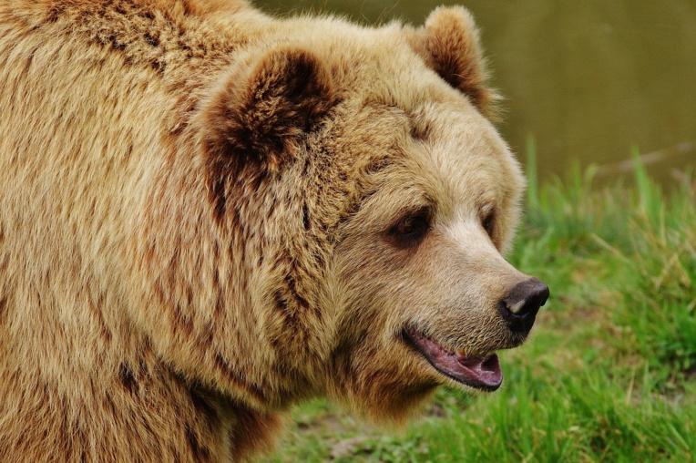 """Une ourse slovène lâchée en Béarn, les anti-ours promettent de la """"traquer"""""""