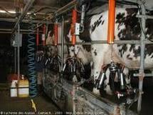 Traire les vaches la nuit guérit les insomnies, selon une société allemande