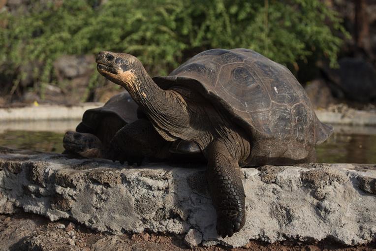 Equateur : mystérieux vol de 123 tortues aux Galapagos