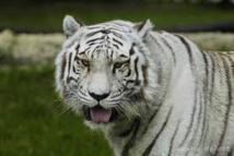 Japon: un gardien de zoo tué par un tigre blanc