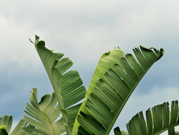 En Martinique, le chlordécone au centre des préoccupations