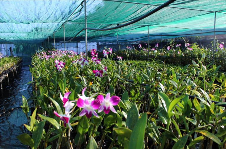 Pour produire une tige fleurie d'orchidée, il faut compter deux années de soins et de patience.