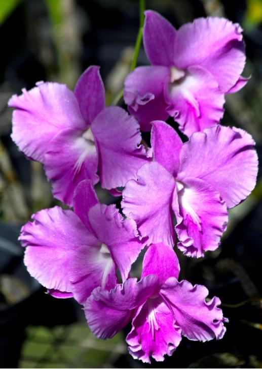 Mi-ombre, mi-soleil, toujours sous ombrière, jamais en plein vent, les orchidées sont faciles à vivre si l'on est organisé pour répondre à leurs besoins.