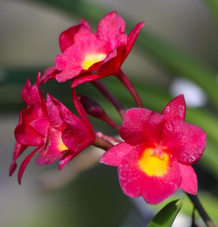 La plupart des orchidées vendues aujourd'hui à Tahiti sont des fleurs issues de clones expédiés depuis la Thaïlande.