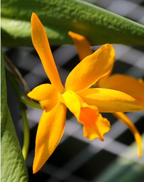 C'est à Hawaii, voilà quelques décennies, que Chrstian Moux s'est formé à l'élevage des orchidées (car on dit « élevage », et non pas « culture » pour ces fleurs nobles).