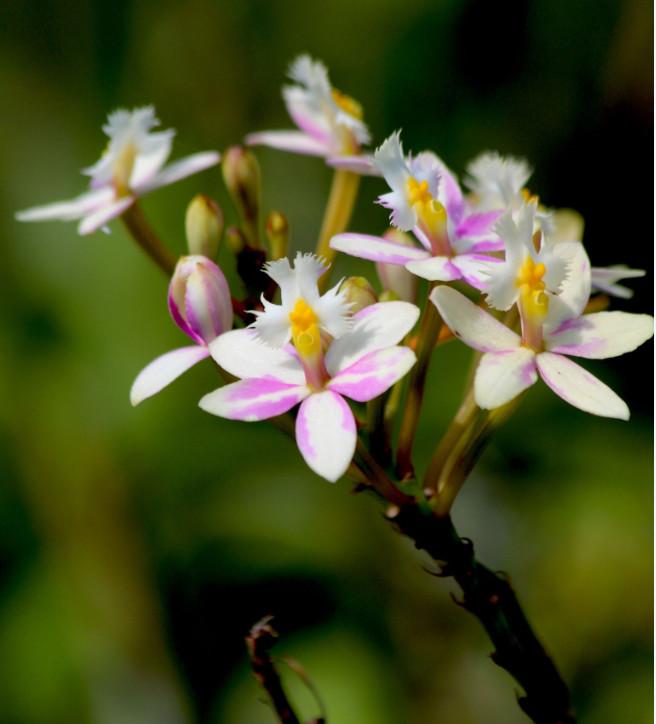 Bel hybride d'Epidendrum aux délicates nuances roses.